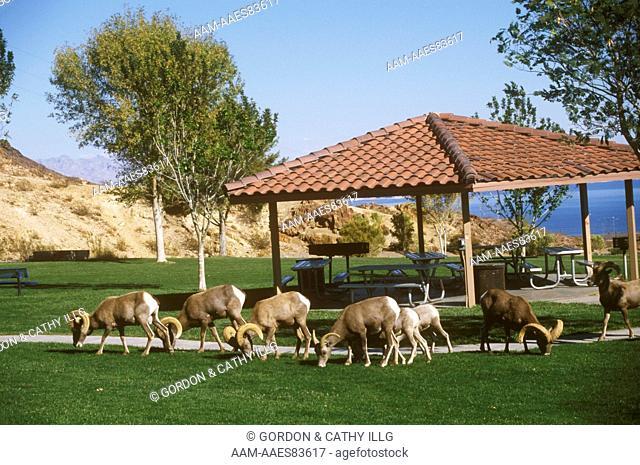 Desert Bighorns feeding on lawn in city park (Ovis canadensis) Boulder City, NV