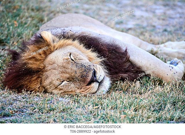 Portrait of African lion sleeping (Panthera leo) Okavango Delta, Moremi National Park, Botswana