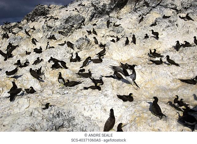 Brown booby, Sula leucogaster, rookery, St Peter and St Paul's rocks, Brazil, Atlantic Ocean