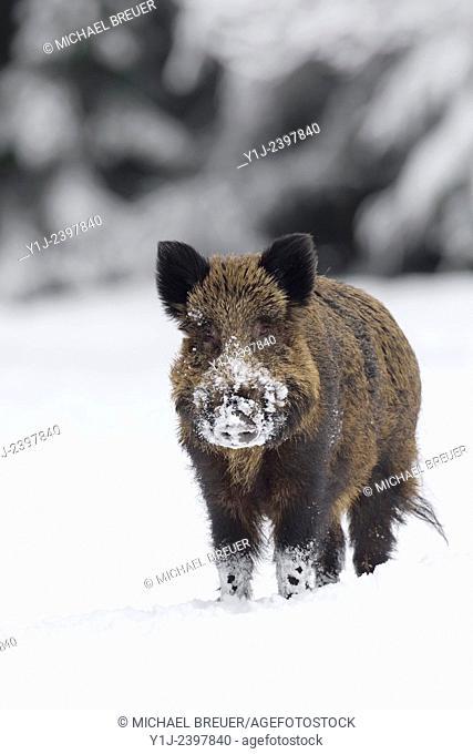 Wild boar (Sus scrofa), Tusker, Bavaria, Germany, Europe