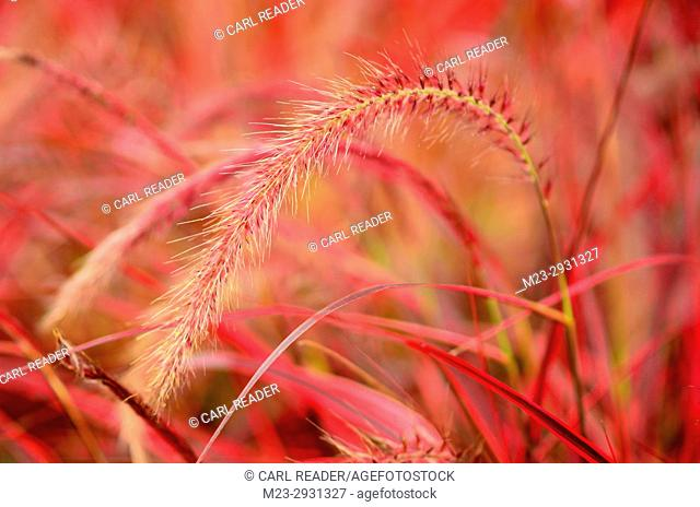 Ornamental red grasses in soft focus brighten up a garden, Pennsylania, USA