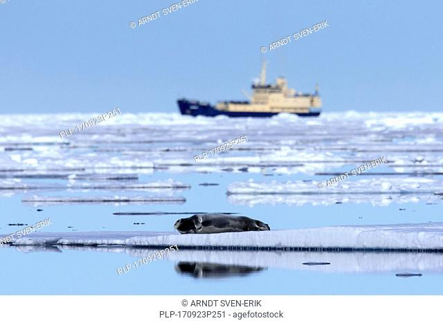 Ship and bearded seal / square flipper seal (Erignathus barbatus) resting on ice floe in the Arctic Ocean, Svalbard / Spitsbergen, Norway