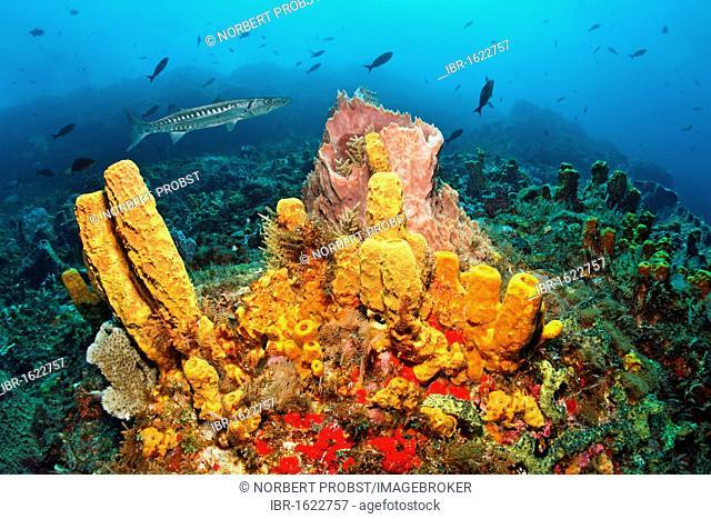 Reef scenery, Yellow tube sponge (Aplysina fistularis), Great Barracuda (Sphyraena barracuda), Little Tobago, Speyside, Trinidad and Tobago, Lesser Antilles