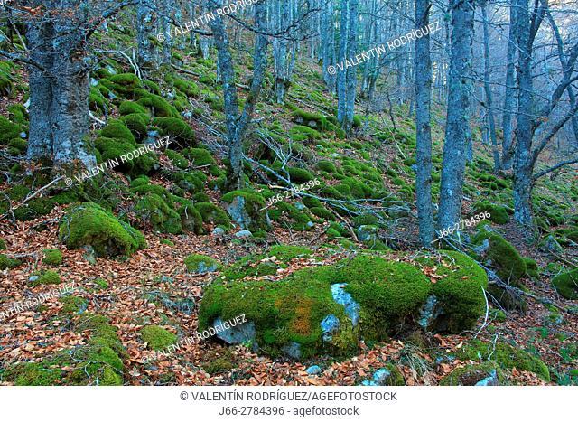 Beech forest near of river Puente Ra. Natural park Sierra Cebollera. La Rioja