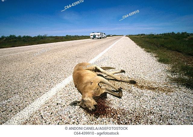 Kangaroo roadkill. Port Headlang-Broome. Western Australia