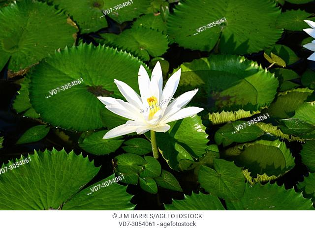 White Egyptian lotus or white lotus (Nymphaea lotus) is an aquatic plant native to east Africa ans southeastern Asia. This photo was taken in Thailand