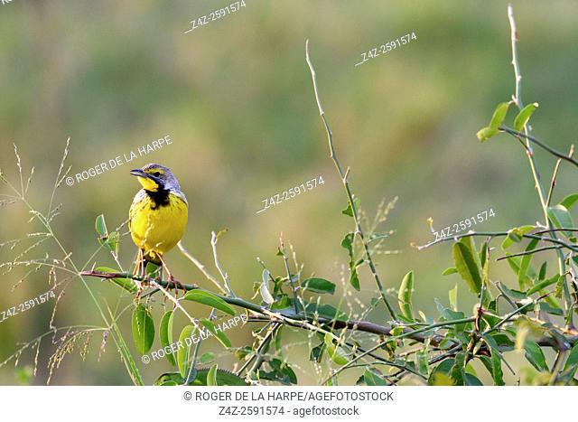 Yellow-throated longclaw (Macronyx croceus). Serengeti National Park. Tanzania
