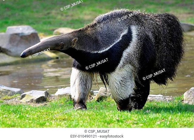 Giant Anteater walking on grass