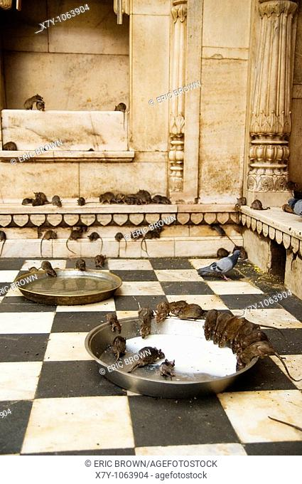 Rats drink milk inside the Karni Mata temple in Deshnoke, India  Rats are honored here