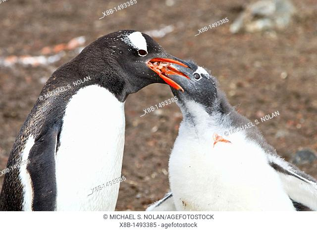 Gentoo penguin Pygoscelis papua adult feeding chick at Hannah Point on Livingston Island, Antarctica, Southern Ocean  MORE INFO The gentoo penguin is the third...