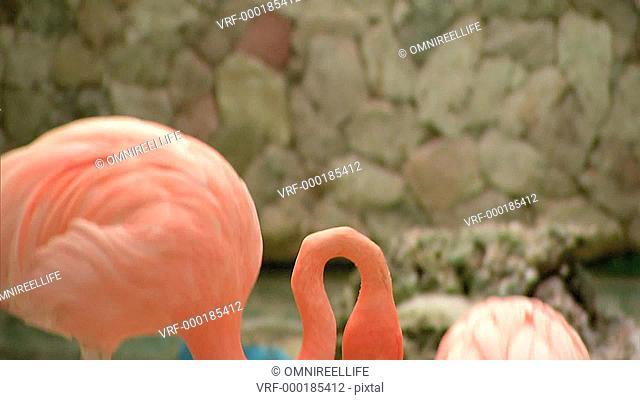 Two pink Caribbean flamingos walking on sandy floor