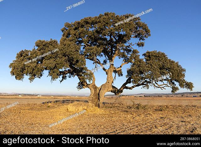 Holm oak (Quercus Ilex). Hoya de la Carrasca. Almansa. Albacete