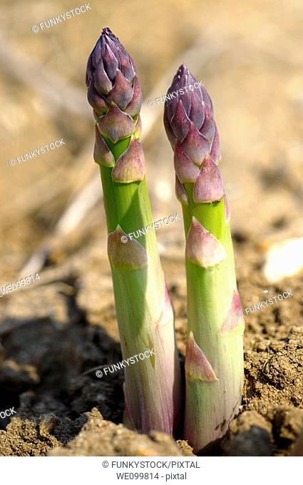 Fresh English Asparagus growing