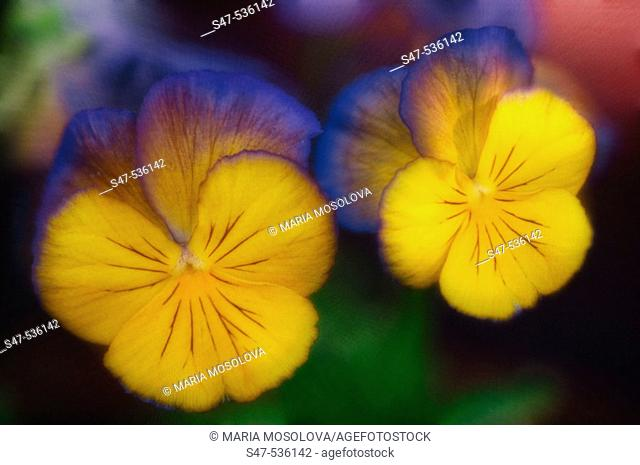 Two pansies. Viola x wittrockiana, Maryland, USA