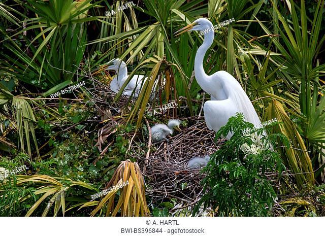 great egret, Great White Egret (Egretta alba, Casmerodius albus, Ardea alba), adult with chicks at the nest, USA, Florida, Gatorland, Kissimmee