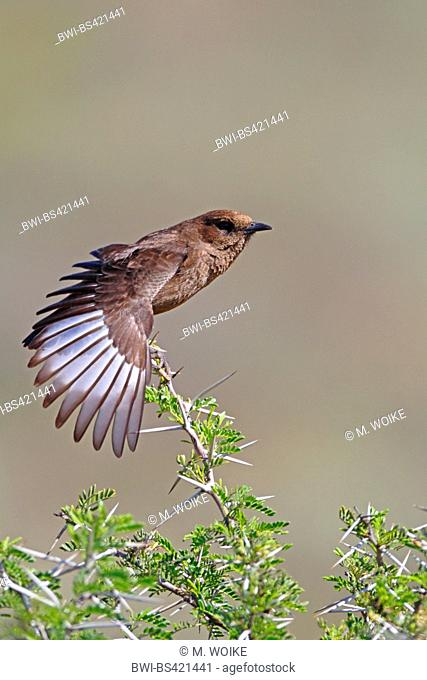 Southern anteater chat (Myrmecocichla formicivora), sits on a bush and stretches the wings, South Africa, Eastern Cape, Camdeboo National Park