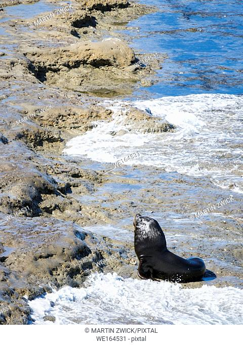 South American sea lion (Otaria flavescens) also called Southern Sea Lion and Patagonian Sea Lion, colony in the National Park Valdes