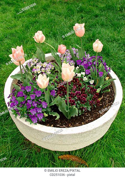 Tulips (Tulipa hybr.) and Pansies (Viola sp.)