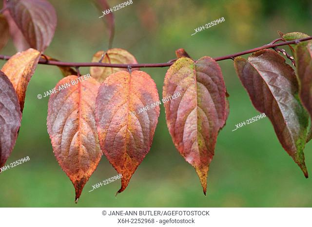 Autumn leaves in a line on a branch