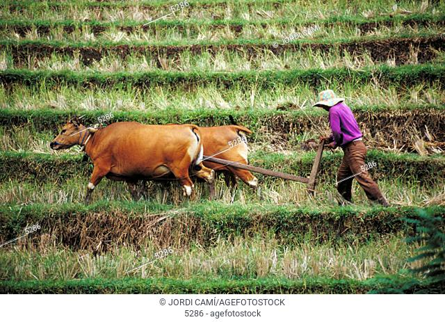 Traditional plowing with oxen. Tabanan. Bali. Indonesia