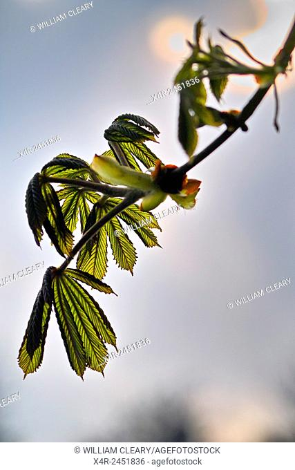 Spring growth on horse chestnut tree