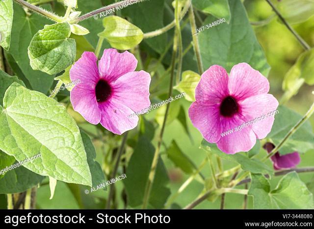 Black-Eyed Susan Vine / Thunbergia alata â. . Arizona Rose Sensationâ.