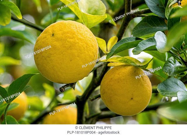 Japanese bitter-orange / hardy orange / Chinese bitter orange / trifoliate orange (Poncirus trifoliata / Citrus trifoliata) citrus fruit in tree