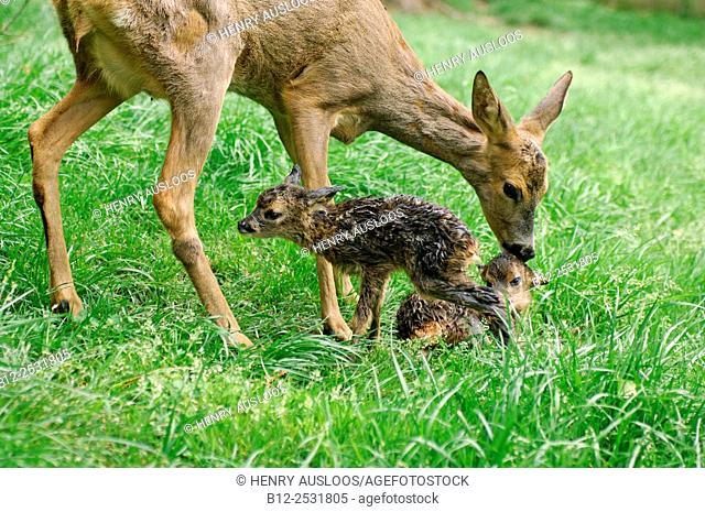 Roe Deer Capreolus capreolus, adult and fawns, Just born