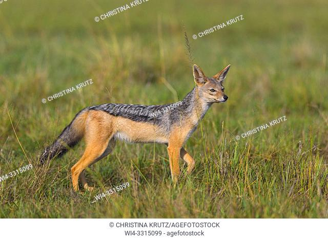 Black-backed Jackal (Canis mesomelas), Masai Mara National Reserve, Kenya