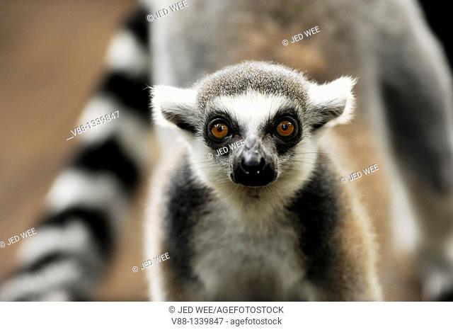 Ringed-tailed Lemur (Lemur catta), Singapore Zoological Gardens, Singapore