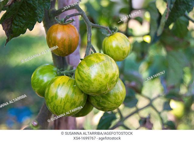 Lycopersicum esculentum, unripe tomatoes zebra in your plant