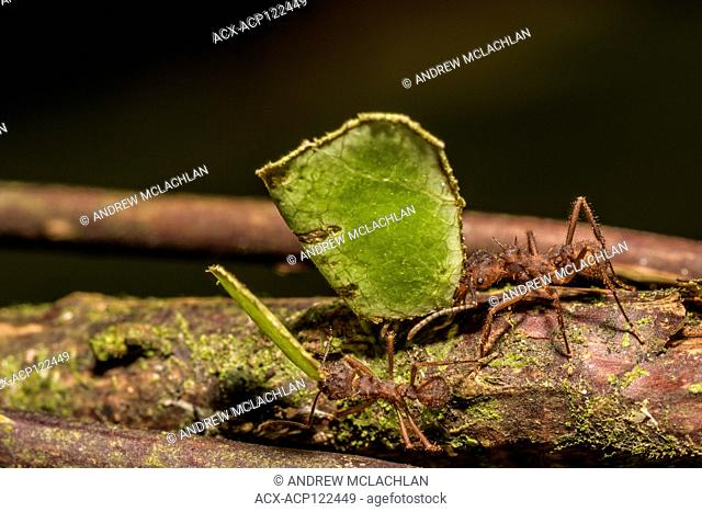 Leaf Cutter Ants in the Cordillera Escalera of the Amazon Rainforest near Tarapoto, Peru