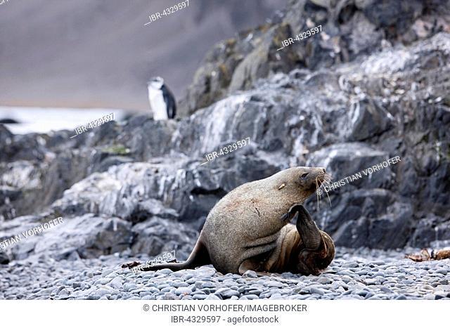 Antarctic fur seal (Arctocephalus gazella), behind a Gentoo Penguin (Pygoscelis papua), Antarctic Peninsula, Antarctica