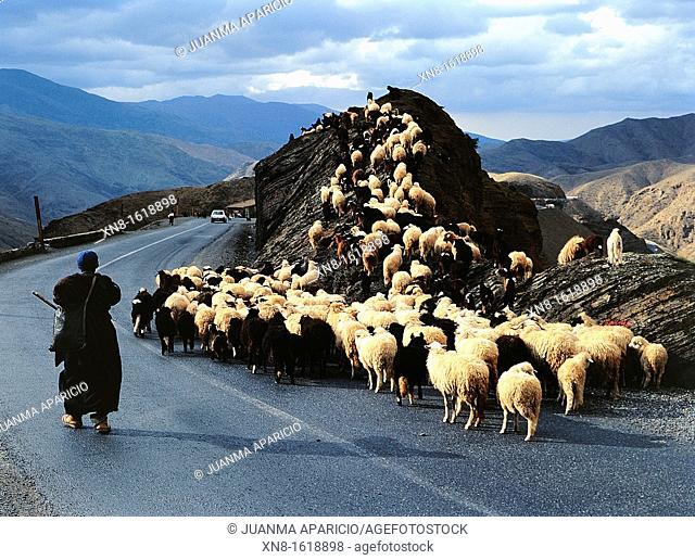 Shepherd leading a flock of sheep in the Atlas, Morocco