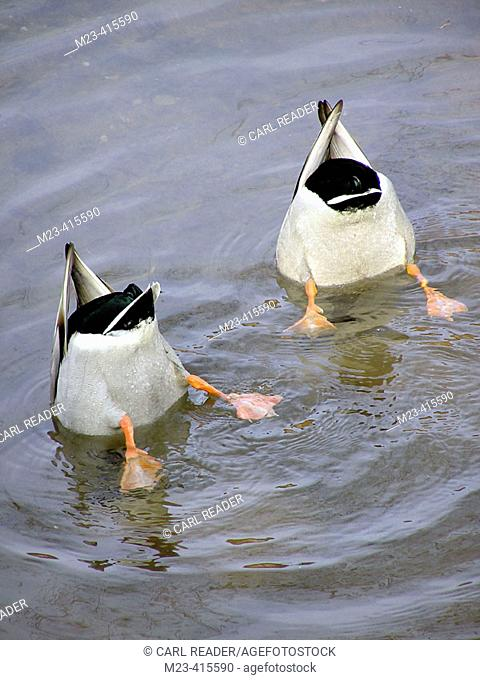 Ducks turn their bottoms up in search of underwater food