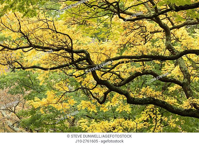 Cork tree branches, Arnold Arboretum, autumn, Boston, Massachusetts, USA