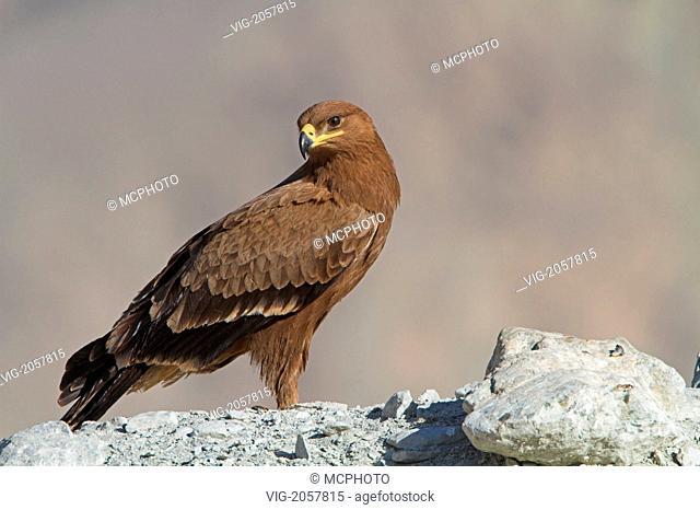 Steppenadler, Steppe Eagle, Aquila nipalensis, Aigle des steppes, Águila Esteparia - Oman, 01/01/2010