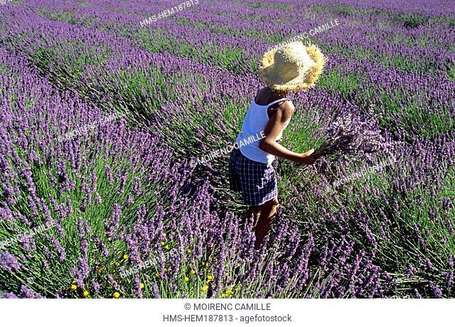 France, Alpes de Haute Provence, Montagne de Lure, people in a lavender field