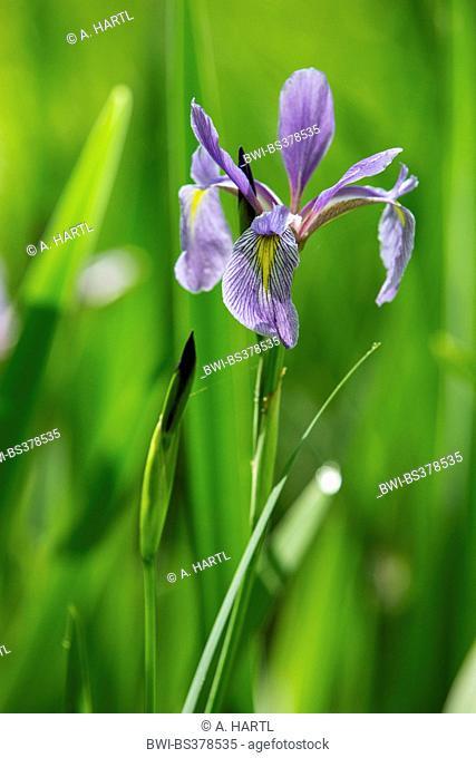 iris (Iris spec.), flowering, USA, Tennessee, Great Smoky Mountains National Park