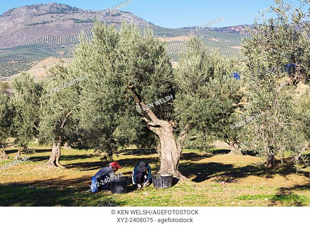 Andalusia, southern Spain. Two women collect fallen olives from the ground