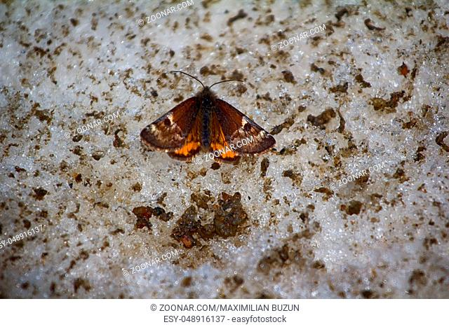 Night Moth butterfly (tiger moth, Arctiidae) is in late spring time on the dirty melting snow
