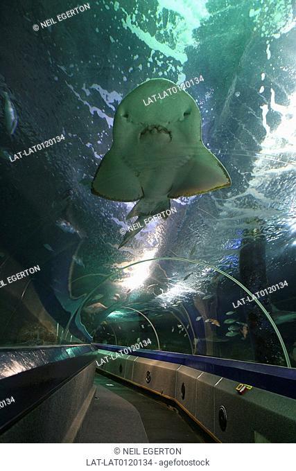 Underwater World. Sunshine Coast. Moving walkway through the watertanks of the aquarium. Shark and other large fish