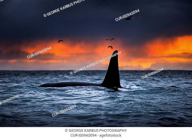Killer whale, Orca, Andenes, Lofoten, Norway