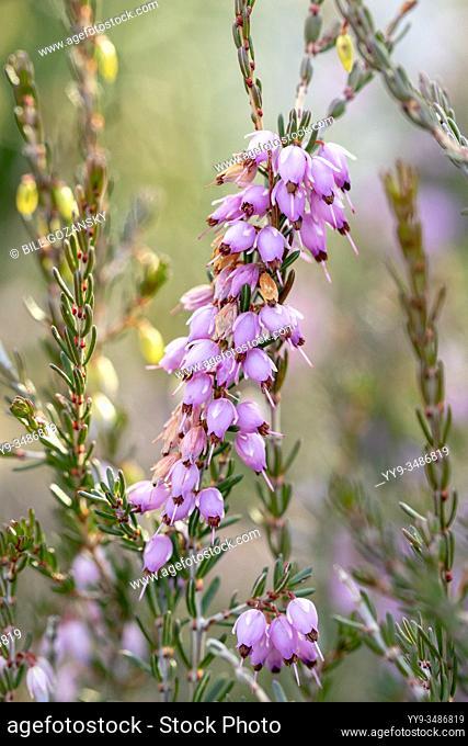 Mediterranean Pink Heath (Erica x darleyensis) Mediterranean Pink - North Carolina Arboretum, Asheville, North Carolina, USA