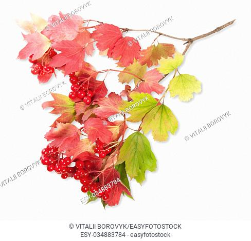 Viburnum On A Branch With Leaves Isolated On White Background