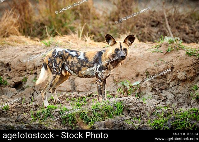 African Wild Dog (Lycaon pictus). Adult standing. South Luangwa National Park, Mfuwe, Zambia, Africa