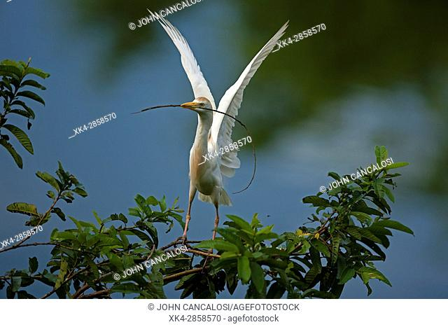 Cattle egret (Bubulcus ibis), with nesting material, Costa Rica