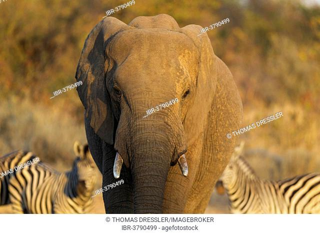 African Elephant (Loxodonta africana), bull, Kruger National Park, South Africa
