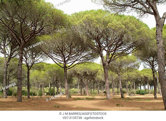 Stone pine (Pinus pinea) is a coniferous tree native to Southern Europe. Its pine nuts are edible. This photo was taken in Pinar de Barbate o de la Brena...
