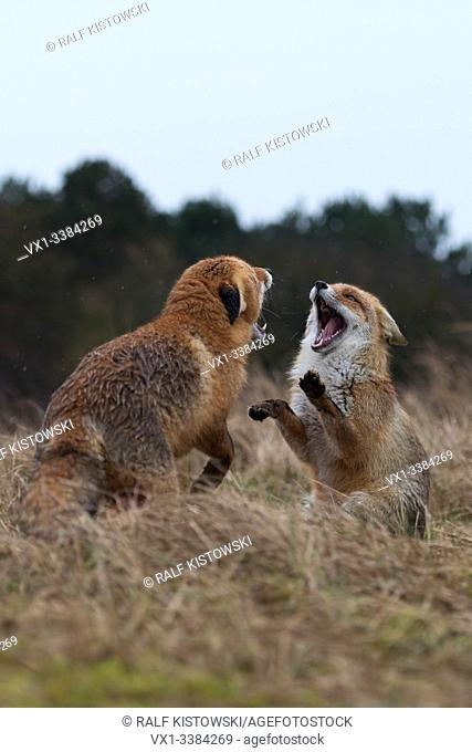 Red Fox (Vulpes vulpes), adult, in agressive fight, fighting, threatening with wide open jaws, attacking each other, wildlife, Europe
